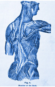 Blue Spine Musculature Sketch